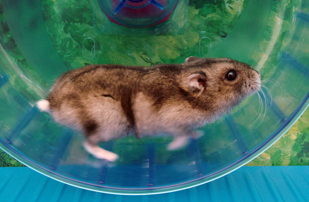 Miks liivahiirtele ja rottidele ei tasuks jooksuratast soetada?