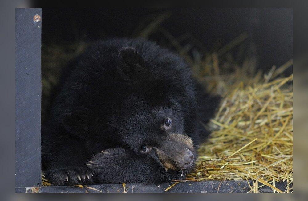Üllatuslik avastus: karud tunnevad numbreid