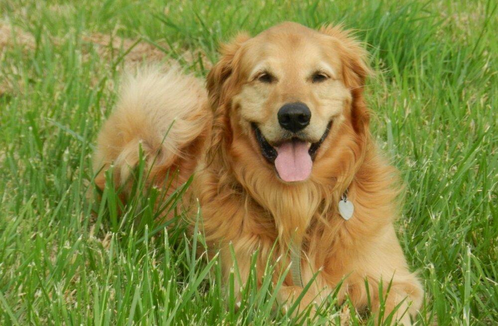 Lihtne viis, kuidas võõrastele paitajatele näidata, et sinu koer ei soovi nendega suhelda — pane talle kollane pael kaela