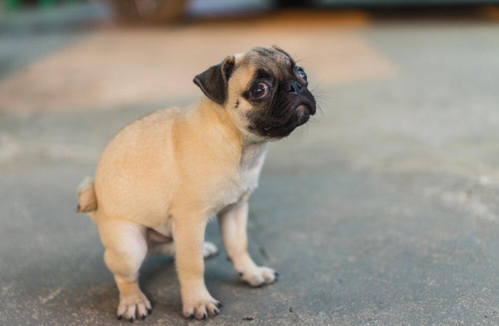 Piinlik harjumus: miks koer häda tehes mind ainiti jälgib?