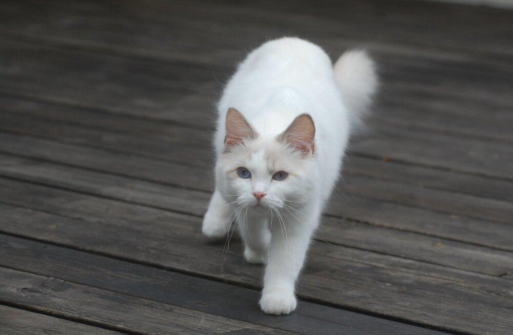 KIISUBLOGI | Tartu kass Ada sekeldused viisid ta täiskäigul otse kibuvitsapõõsasse