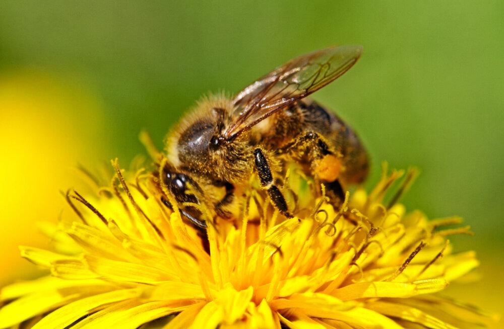 Täna on üleilmne mesilaste päev: haihtuvate mesilaste mõistatus lahendatud!