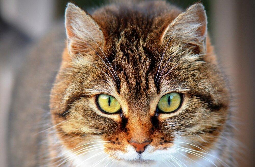 Kui vana on sinu kass? Need on seitse kõige levinumat terviseprobleemi eakate kasside seas