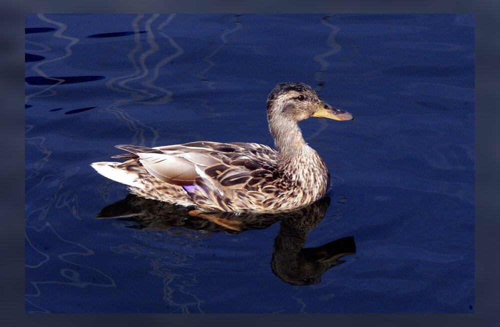 Ujujad ja vesijalgrattaga sõitjad kiusasid Väiksel viigil pesitsevaid linde