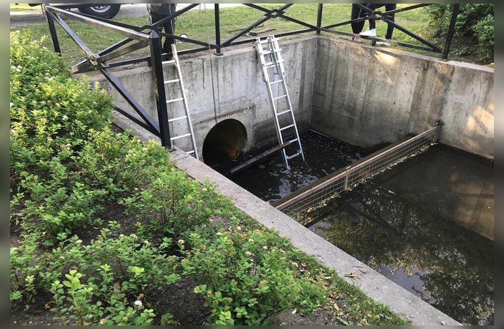 Kadrioru kanal neelab linnupoegi: väikesed sulelised kaovad äravoolutorust mere poole, emalinnud jäävad poegi taga nutma