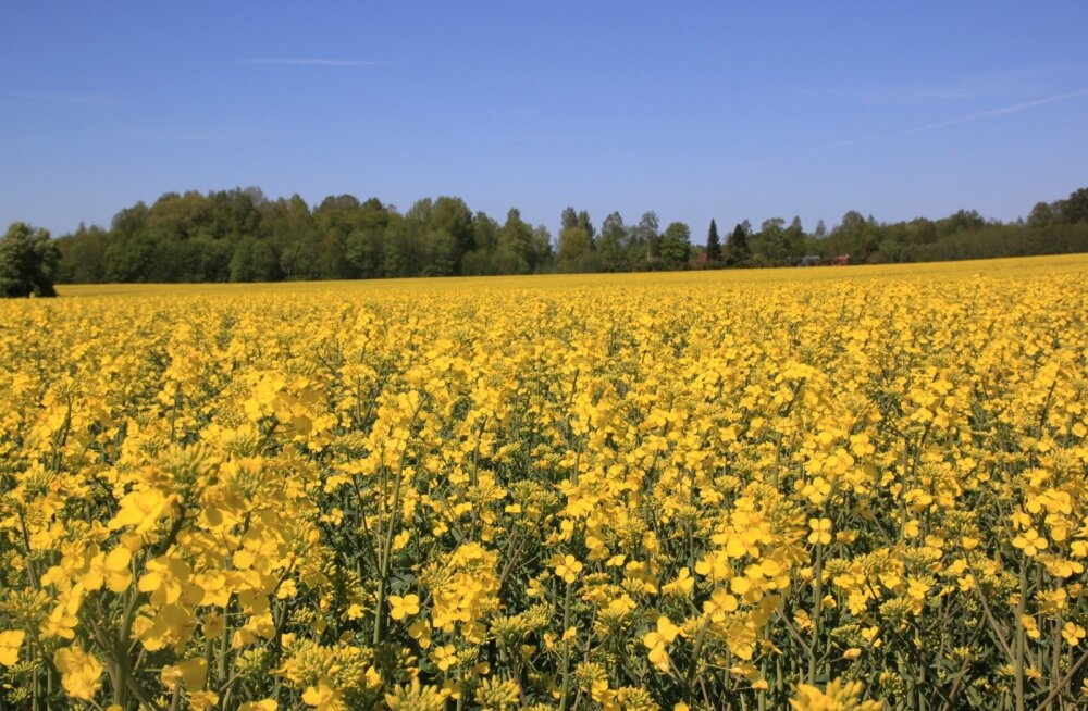 Kasvu reguleerimine aitab ühtlustada taimiku pikkuskasvu, õitsemist ja valmimist.