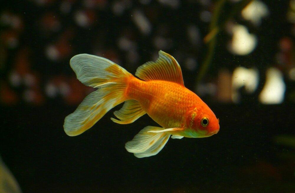 Kalad akvaariumis? 7 punkti, millele kalade pidamisel tähelepanu pöörata