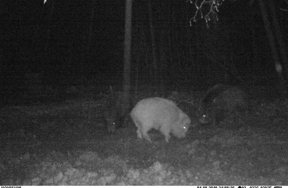 FOTO | Viljandimaal jäi rajakaamerasse valge metssiga