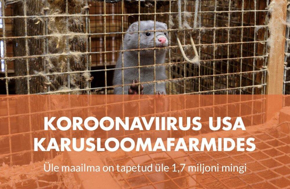 Koroonaviirus laastab mingifarme nii Ameerikas kui Euroopas, miljonid loomad on hukatud