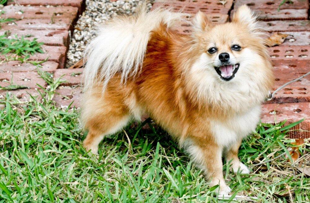9 koeratõugu on oma omanikele lojaalsed