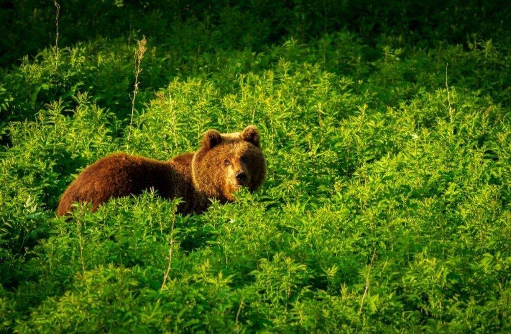 Разгуливают по дворам и дорогам. Эстонию резко заполонили медведи