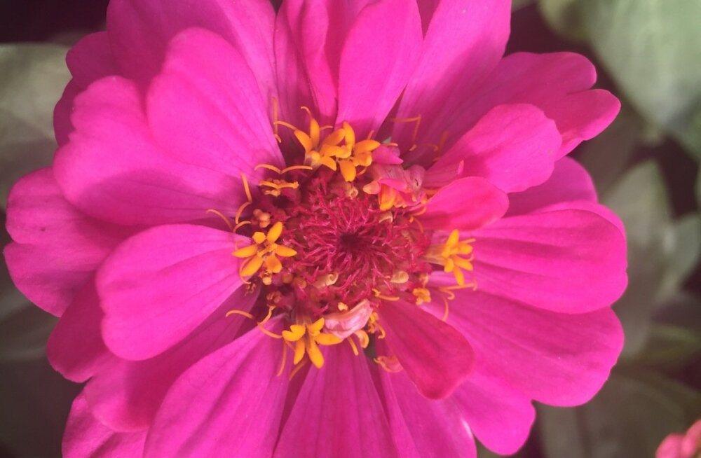 Lill naistevaesest külast: pruudisõlg.