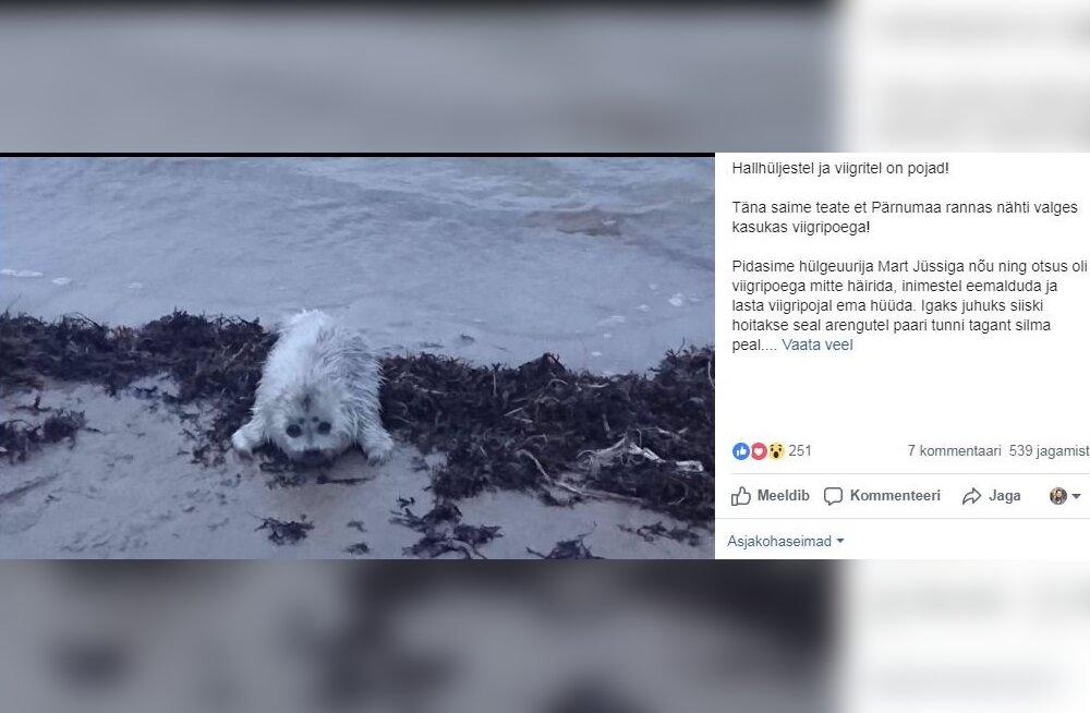 FOTO | Pärnumaa rannas nähti viigripoega! Looma märgates on oluline teda mitte häirida