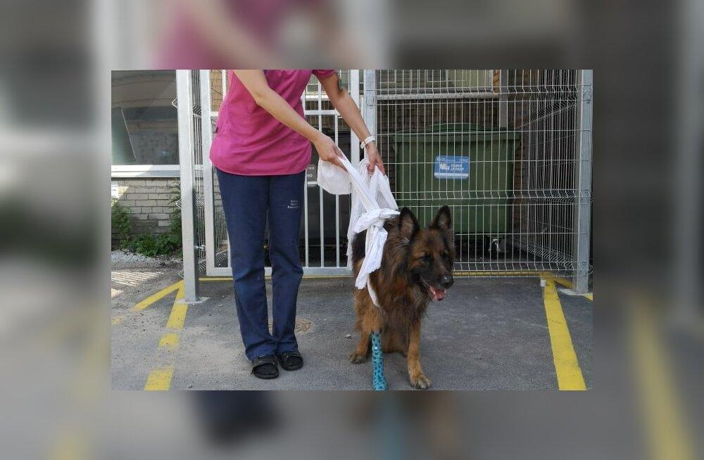 ФОТО | Искалеченная в страшном ДТП собака сделала первые шаги