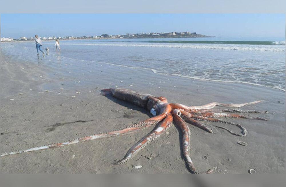 On ikka mürakas! Lõuna-Aafrika rannast leiti 300-kilone kalmaar