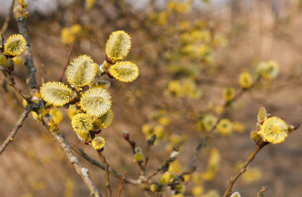 Käes on urbepäev: esiisade maagilised nipid toovad kevadeks hea tervise, ilu ja jõukuse