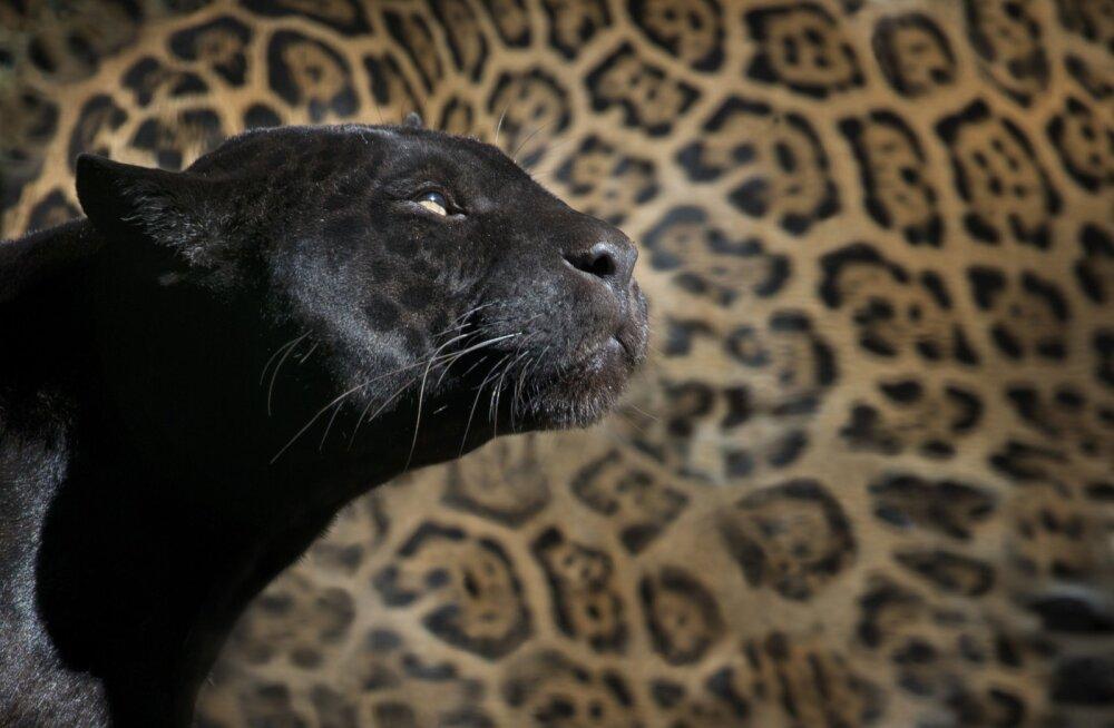 VIDEO | Kõhedust tekitav! Inglismaa põldudel nähti jooksmas hiiglaslikku kassilaadset olendit
