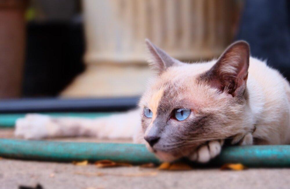 Justkui tujukas teismeline: miks kass mind ignoreerib?