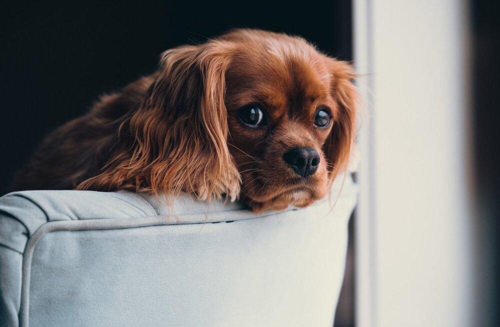 Koera pidamine korteris: kuus nõuannet, et lemmikloom ja ka naabrid õnnelikud oleksid