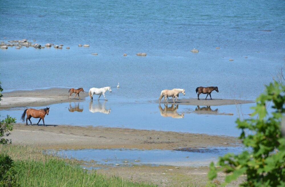 Hobused meres