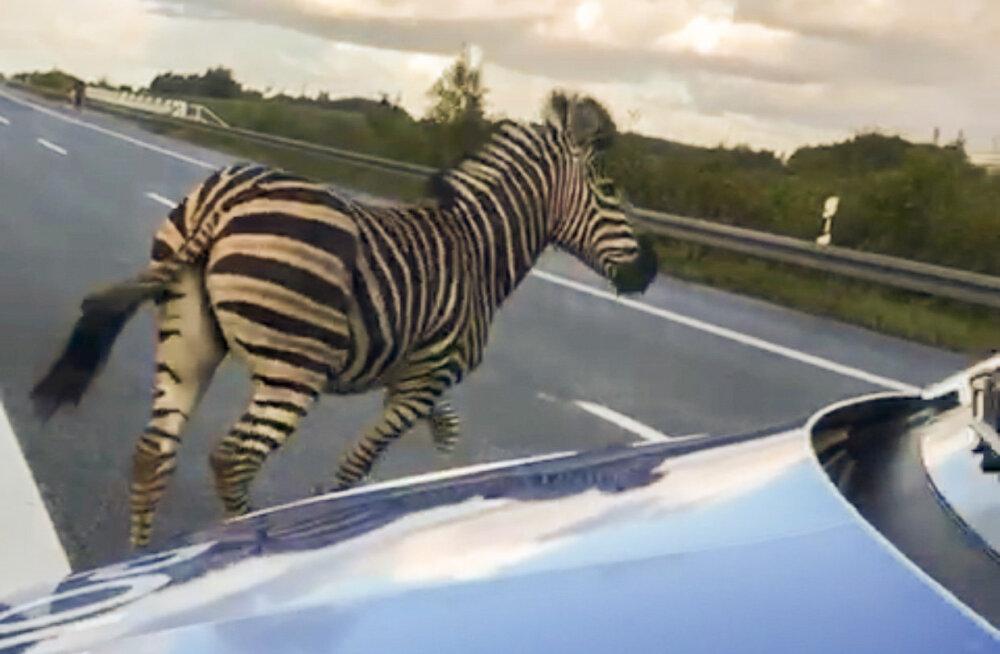 Saksa kiirteel häiris liiklust ja põhjustas õnnetuse sebra, kes lasti lõpuks maha