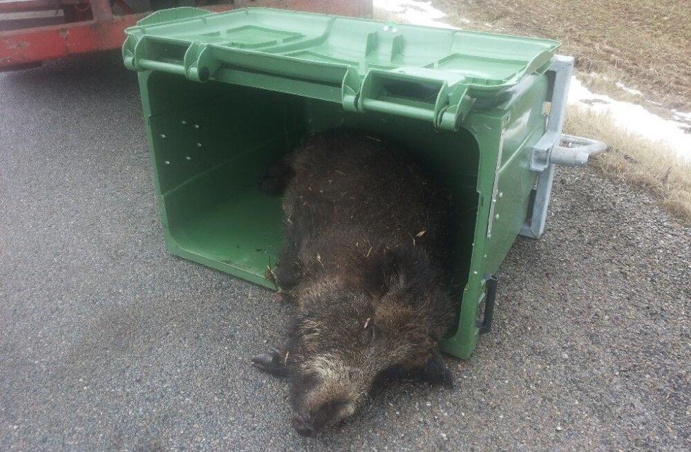 Nii käis veterinaarameti juhendamisel seakatku surnud metssigade koristamine märtsi alguses Viljandimaal. Nakatunud sigu lohistati mööda maad autoni ning siis ei mahtunud üks neist konteinerisse. Selleks polnud amet valmis.