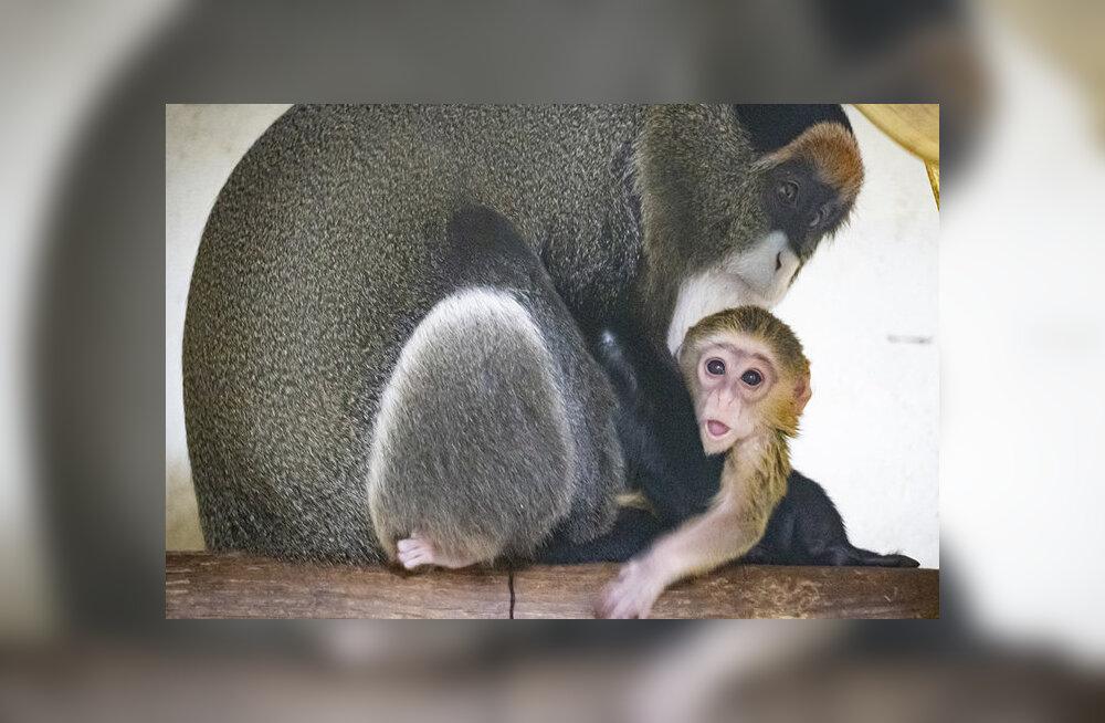 Valencia loomaaias tuli ilmale haruldane ahvipoeg