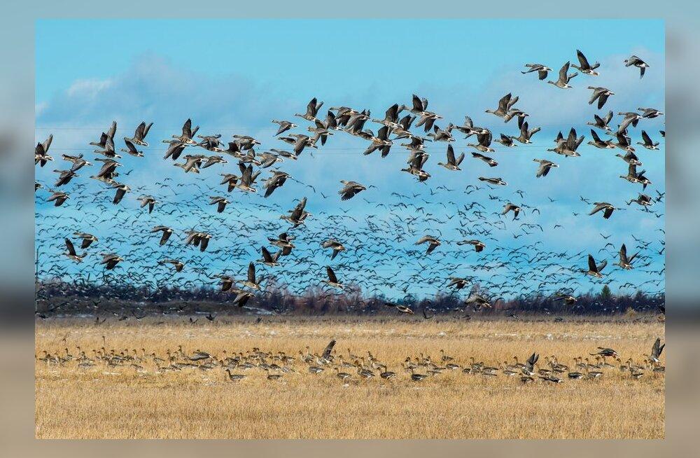 Linnuvaatleja: tänavune aasta on erakordne