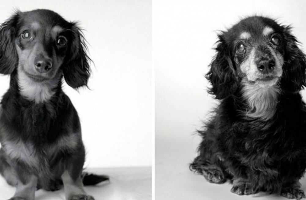 Liigutav fotoprojekt: Vaata, kuidas need koerad aja jooksul vananenud on