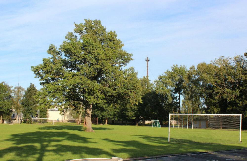 Anna toetuseks oma hääl - Orissaare tamm kandideerib Euroopa aasta puuks