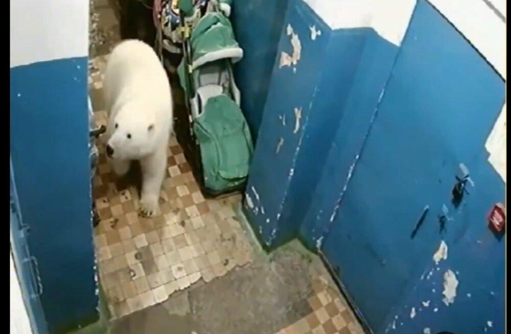 VIDEO ja FOTOD | Venemaa põhjaalad on hädas nälgivate jääkarude invasiooniga