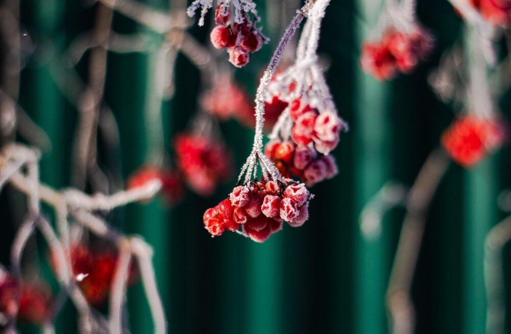 Aiatoimetaja tarkus: lumi on aiataimedele parim külmakaitse!