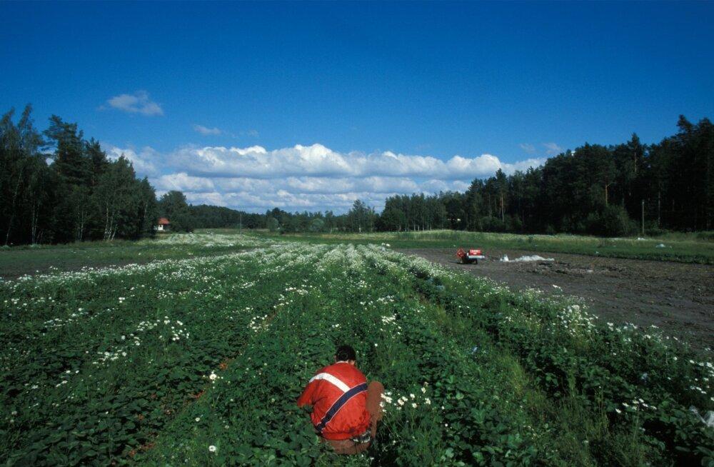 Soome maasikapõld.
