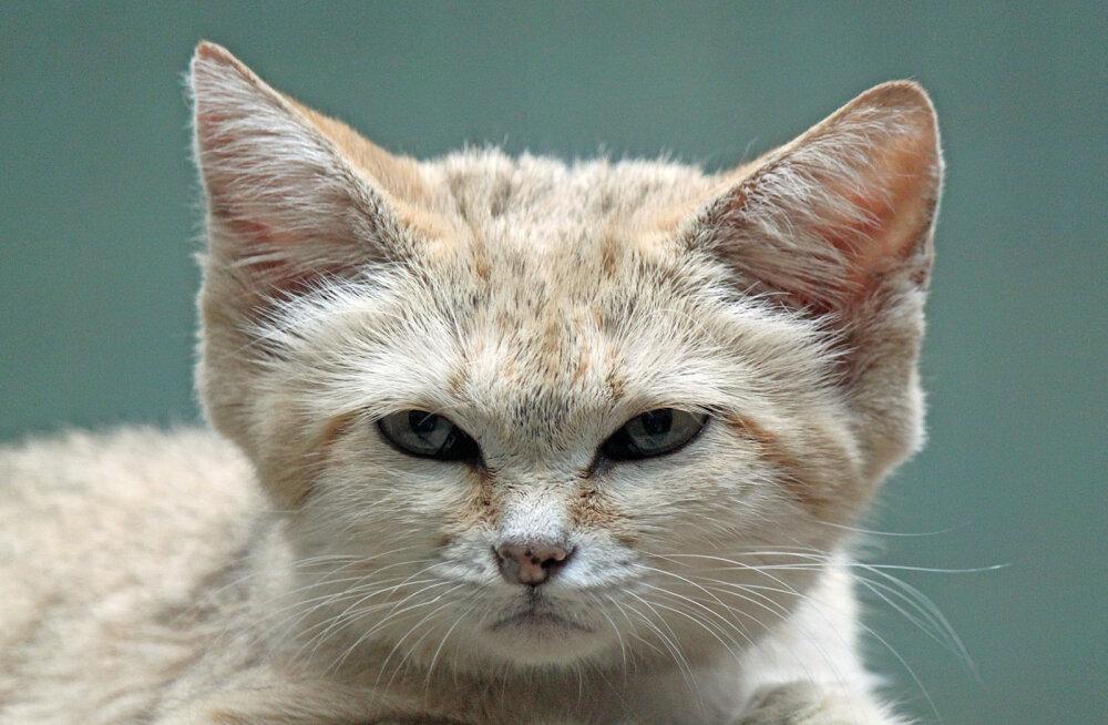 Ülipelglik kassiliik sattus üle pikkade aastate looduses kaamerasilma ette