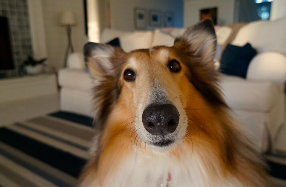 Puust ja punaseks: 5 koerte kummalist käitumisviisi viimaks selged