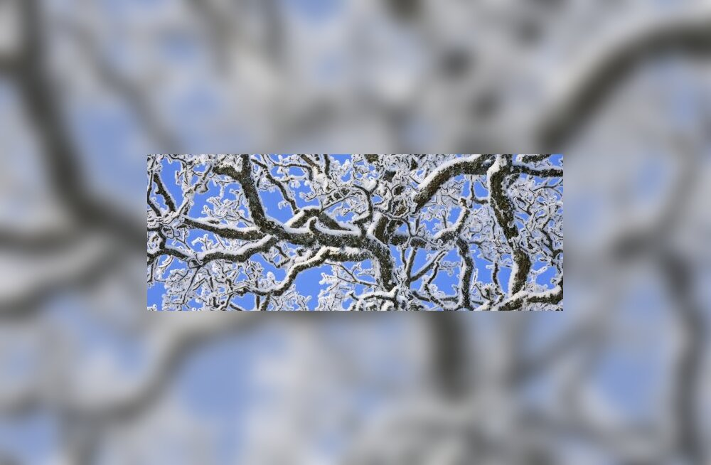Härmas puu