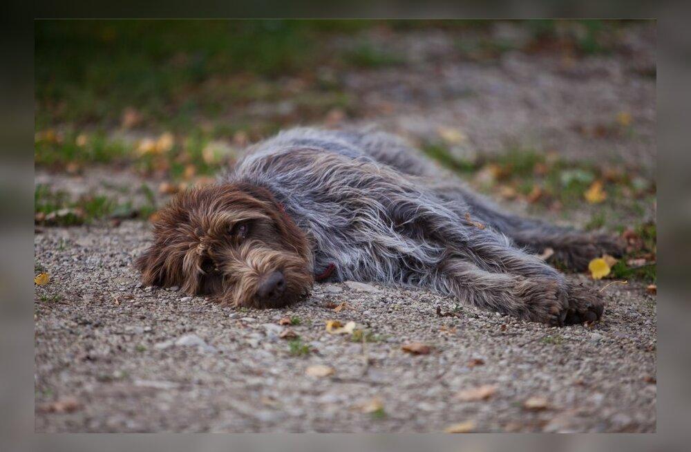 Loomaarst: Koer võib kuumarabanduse saada juba mõne minutiga