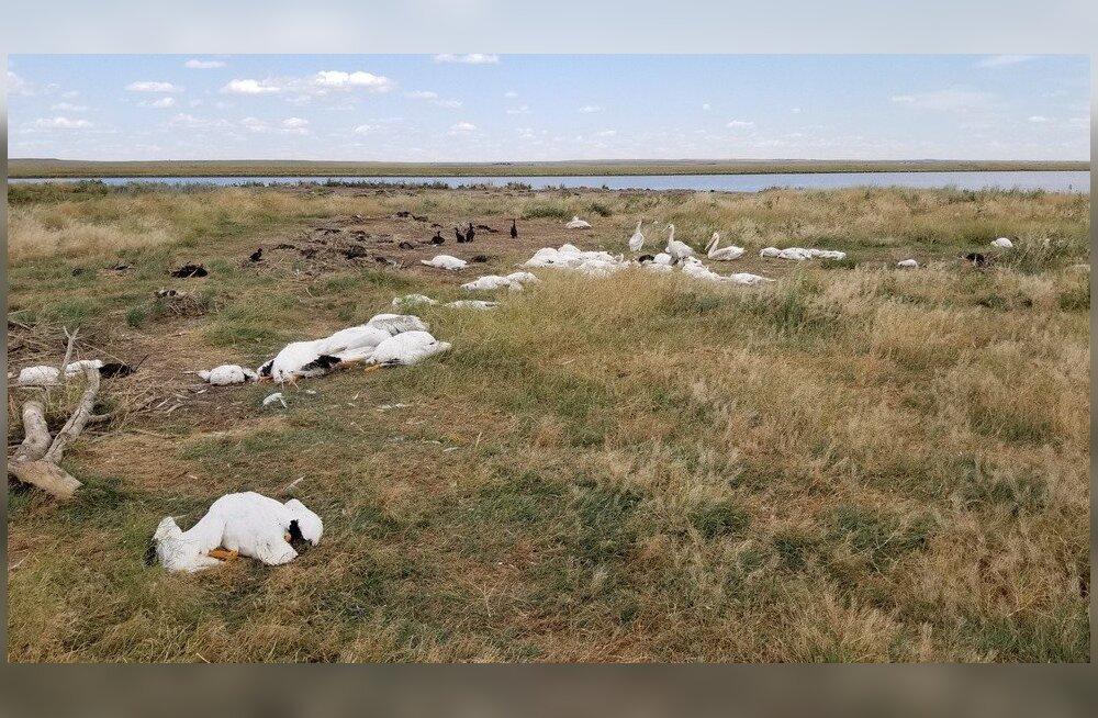 Suur rahetorm tappis USAs üle 10 000 veelinnu
