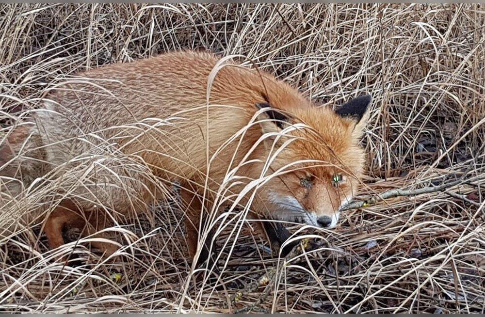 """ФОТО: В Тартумаа лисица пришла """"просить помощи"""" у людей, но ее пришлось усыпить"""