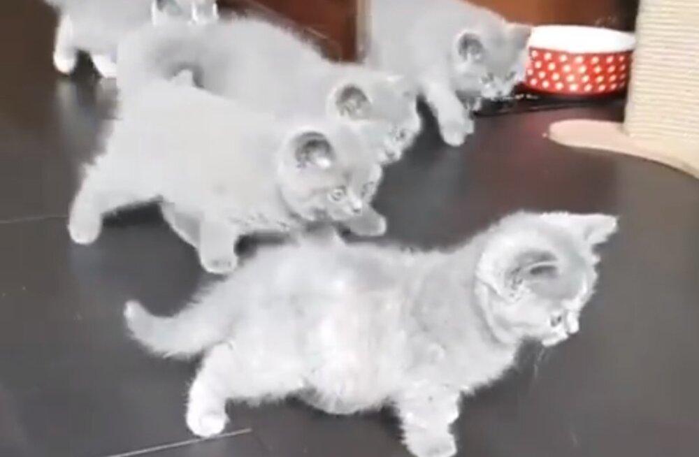 VIDEO | Kas sinu kass reageerib ka nii, kui talle midagi uut näitad?