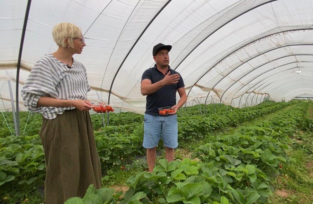 Marii küsimused ajasid kogenud maasikakasvataja Paavo Otsuse kokutama.
