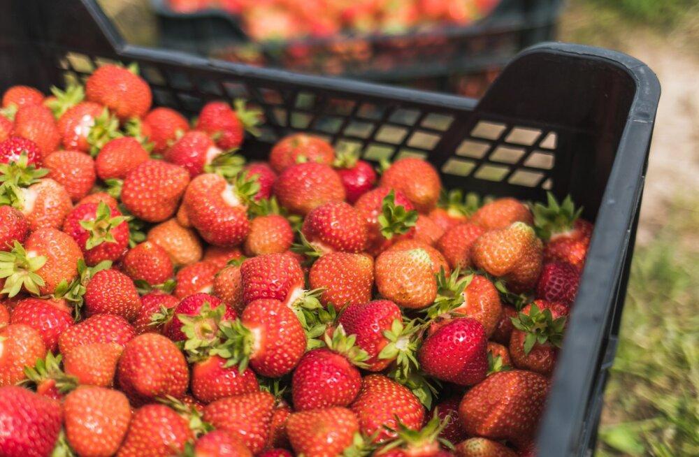 Maasikad. Pilt on illustratiivne.