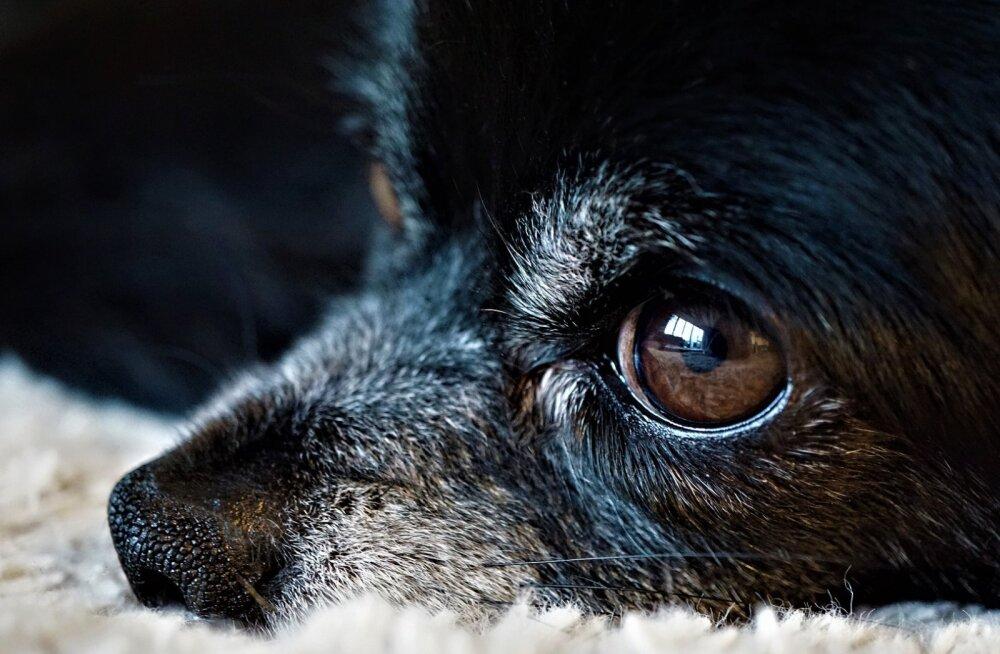 Varjupaikade loodud Koduotsija programm tuleb appi siis, kui lemmikloomast peab loobuma