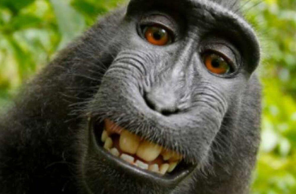 KURIOOSUM   Kohtuprotsess kurikuulsa ahvi pildistatud <em>selfie</em> üle viis loodusfotograafi pankrotti