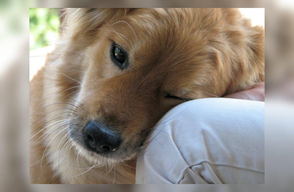Kas koer suudab omanikku tõesti kiinduda? Uurime, mis teadlastel öelda on