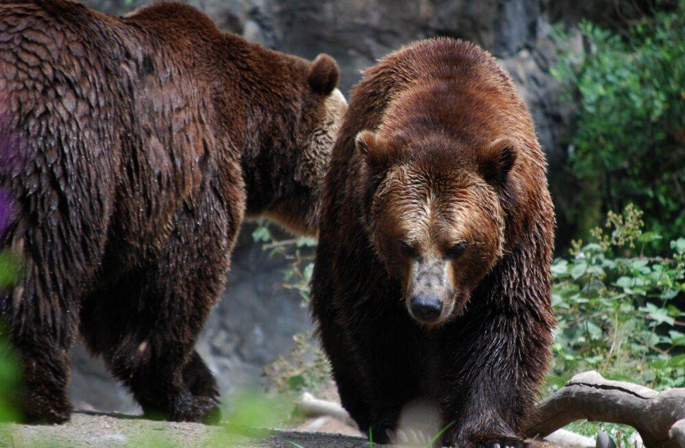 LOODUS ÜLLATAB: karud võivad olla lausa hämmastavalt mitmekülgsed armastajad