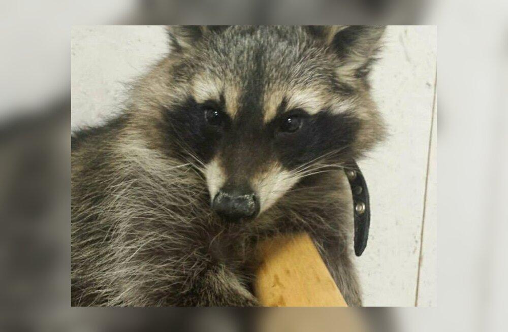 Oskamatud loomaomanikud hädas eksootiliste elukatega: agressiivset pesukaru toideti maiustustega, mida isegi paberist välja ei võetud