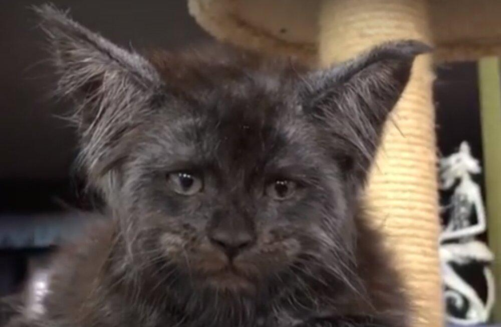 VIDEO | Jahmatav välimus: keda meenutab see eriskummalise näoga kass sulle?