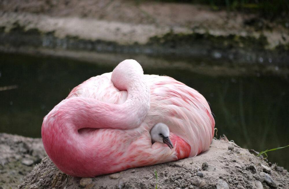 Euroopa kuumalaine pani haruldase flamingo munema