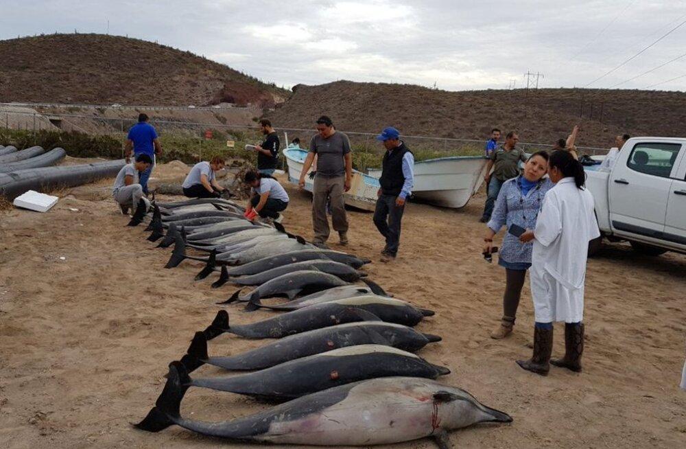 Дельфины против дельфинов: трагедия у мексиканского побережья